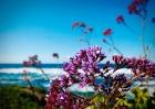 Beach flowers-1